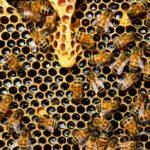 Raw Organic Manuka Honey-featured
