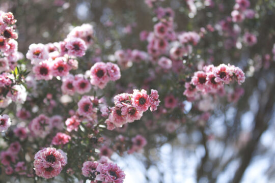manuka-flowers