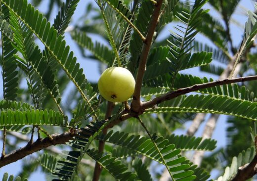 exotic fruit nutritional benefits-amla