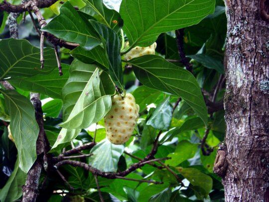 exotic fruit nutritional benefits-noni tree