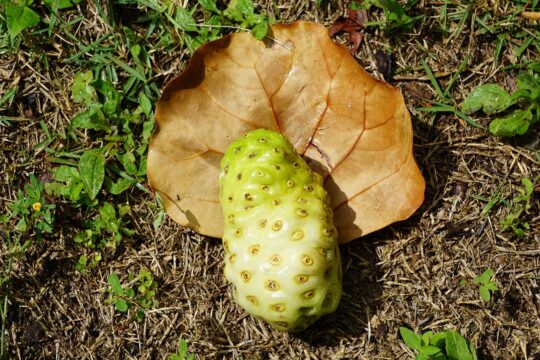 exotic fruit nutritional benefits-noni fruit